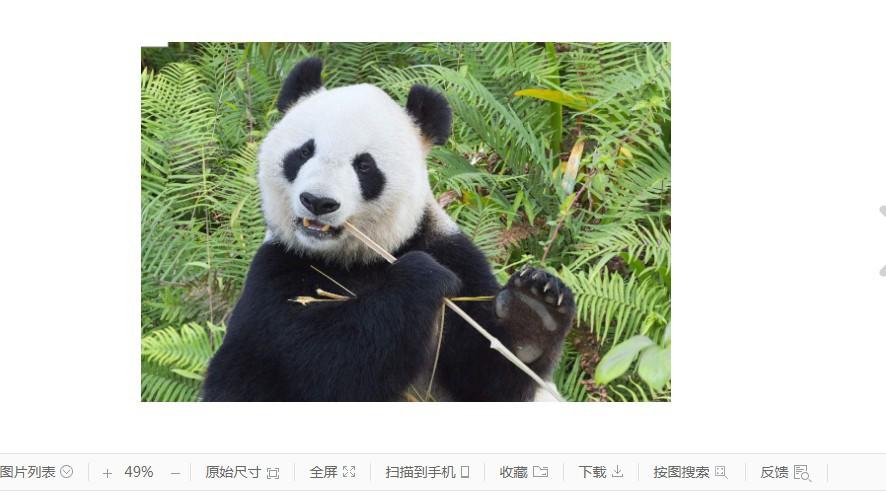 大熊猫的资料 熊猫喜欢吃什么竹子