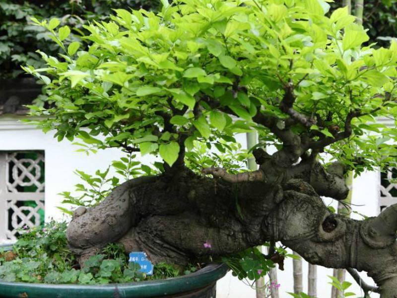 九里香树的功效与作用 九里香树的功效与作用详解