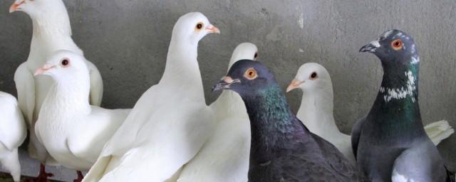 鸽子肉的营养价值 吃鸽子肉的禁忌