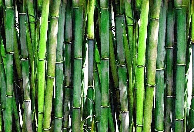 竹子是树还是草?大多数人的回答都错了