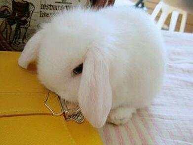 兔子中的真公主, 绝对是公主兔无疑了