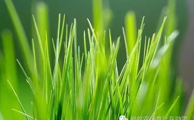 麦苗到底咋养生?大麦苗和小麦苗有啥区别?