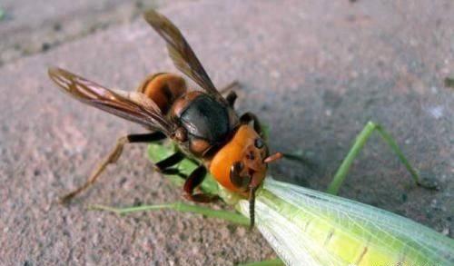 【寻虫者】凶猛杀手——金环胡蜂!