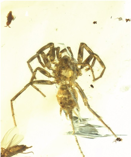 缅甸琥珀中封存的远古秘密:1亿年前的蜘蛛长着长长的尾巴