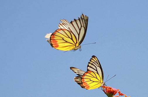 梁祝化蝶:为何是蝴蝶,而不是蜜蜂或其他昆虫