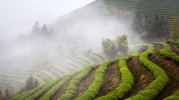 周武:福建为何盛产茶叶