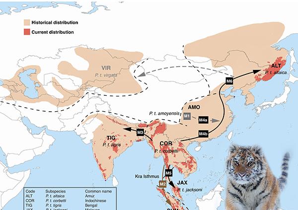全世界有多少种虎、于何时形成,来看看北大教授给出的新答案