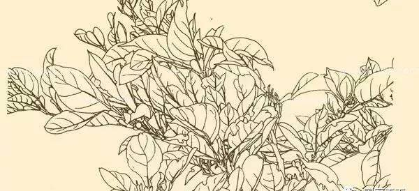 白描花卉图片大全,白描技法特点详解!