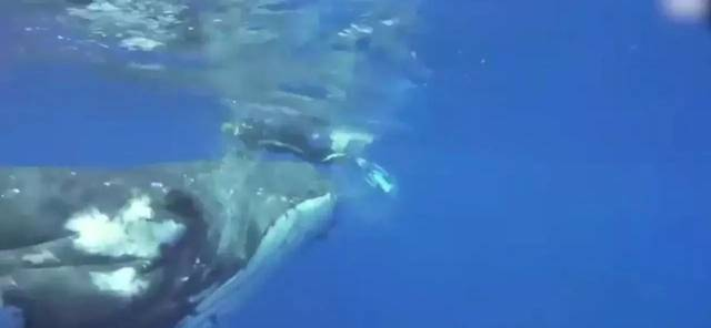遭遇鲨鱼!美海洋生物学家谢虎头鲸救命之恩~