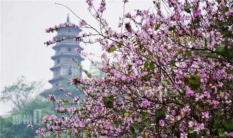 紫荆花今日霸屏央视,柳州又一次惊艳全国!海量美图来了!