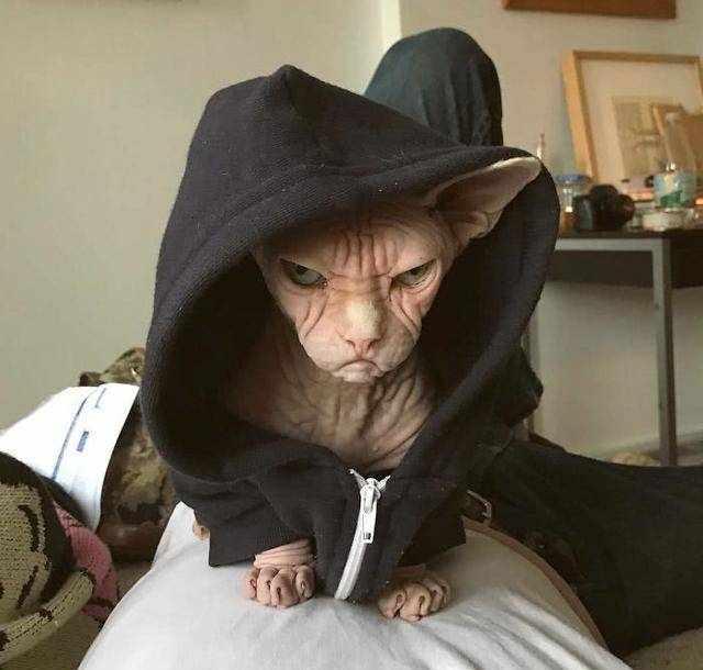 世界上最丑也是最贵的猫,丑的堪比外星人,却是主人心中的女神