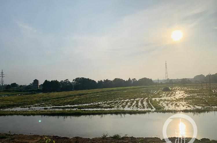 江西鄱阳县内涝早稻抢收:稻子未熟透,估计减产两成