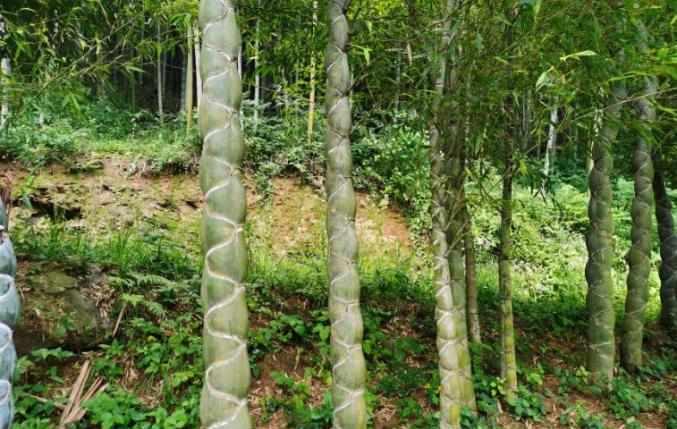 六安大山里发现成片龙鳞竹,很多人一辈子都没见过……