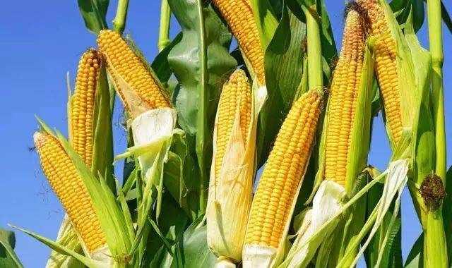 玉米亩产量咋提高?方法有哪些?怎么做亩产可达1600斤?