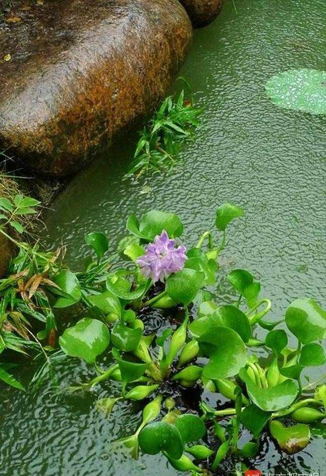 水浮莲看起来漂亮,泛滥起来堵塞河面!惠州投4000万拔草