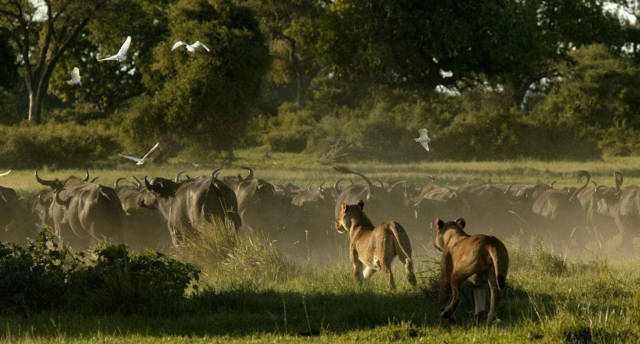 非洲野牛比狮子强壮,为何总是被狮子追杀逃跑?