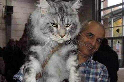 世界上体型最大的猫品种,巨型缅因猫(非乌克兰巨猫)