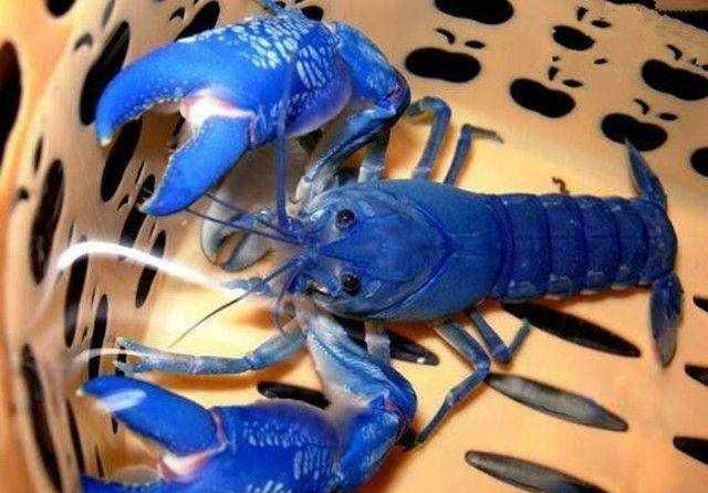 超级卡哇伊的天空蓝魔虾,好想养一只