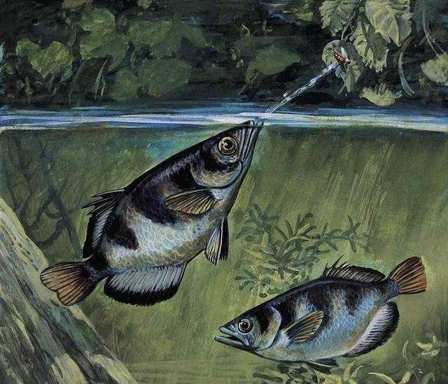 每天认识一种鱼(280)丨射水鱼:高超的捕虫高手