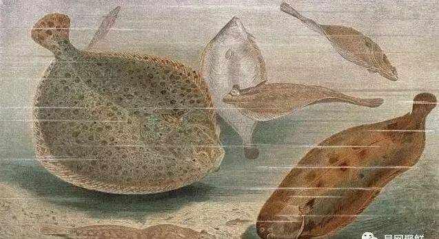 同是比目鱼,为什么有的叫鲆鱼有的叫鲽鱼?