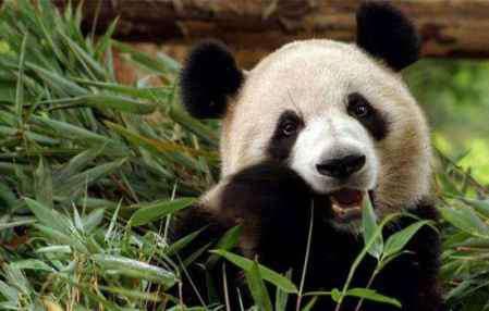 大熊猫只有中国有吗 熊猫只有中国有吗 中国国宝独一无二