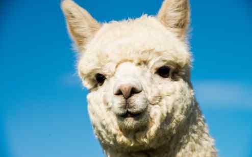 羊驼为什么吐口水 羊驼为什么叫草泥马 为什么见了羊驼要躲远