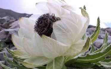 雪莲花怎么吃 雪莲花的正确吃法 雪莲花怎么吃比较好